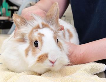 Camomille, le 1er lapin stérilisé à la SPA de Québec